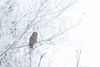 Barred owl, Strix varia, perching on a frosted tree near Boyle, Alberta, Canada.