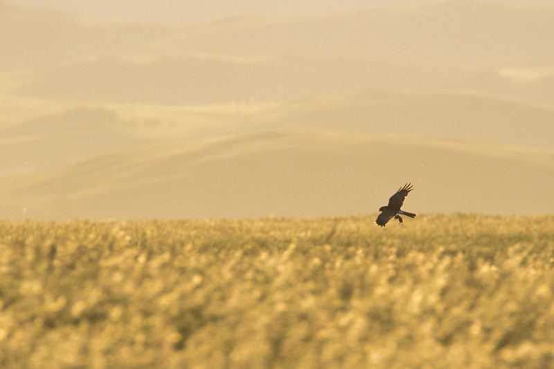 Northern harrier, Circus hudsonius, flying with prey near Claresholm, Alberta, Canada.