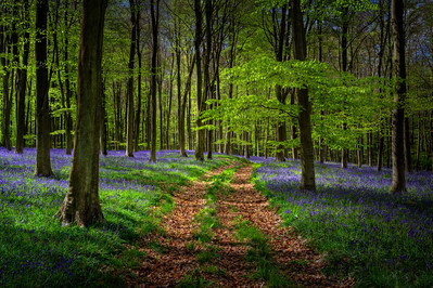 Embley Wood Bluebells, Hampshire