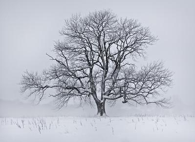 Snowy Oak Tree