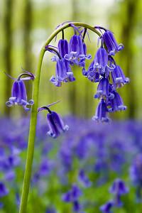 Bluebells, Hampshire, England