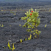 An Ohia Grows out of the Lava