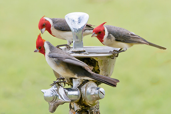 Thirsty Red Headed Cardinals