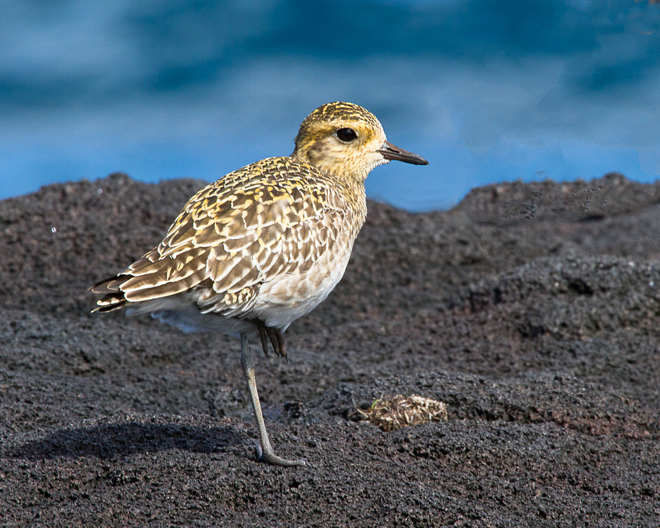 Golden Pacific Plover