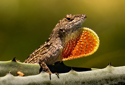 Brown Anole with orange dewlap