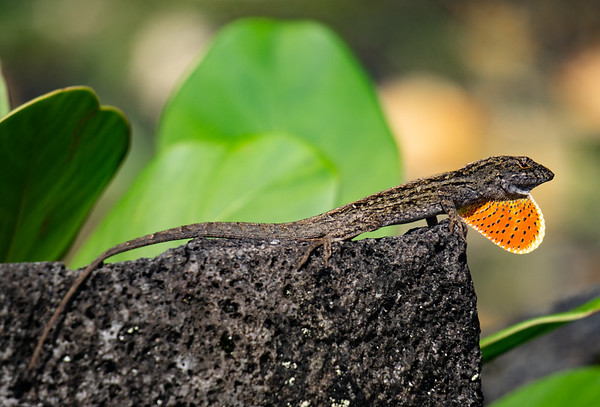 Brown Anole with orange dewlap // Keaau, HI