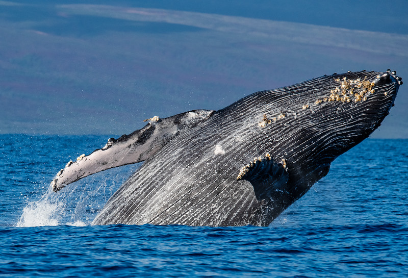 Maui Whales, Turtles and More