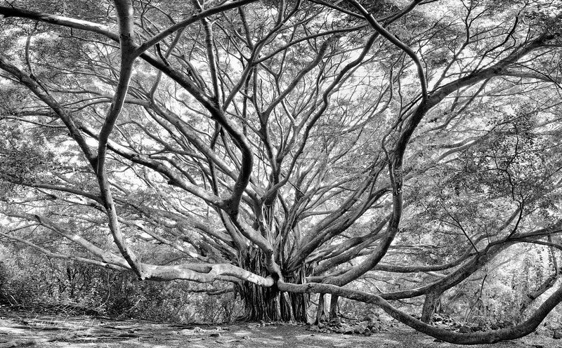 Tree of Wisdom - Pipiwai Trail, Maui, HI