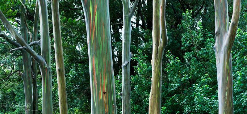 Rainbow forest- Road to Hana, Maui, HI