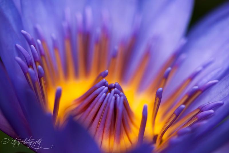 Glowing lily - Maui, HI