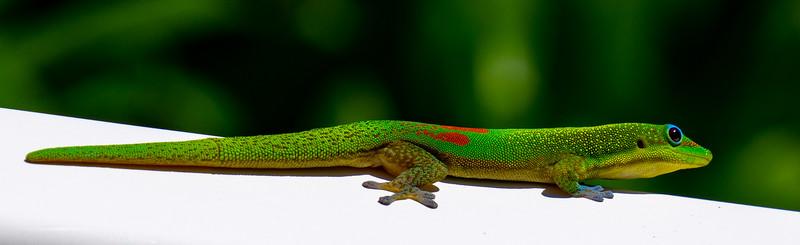 Gold Dusk Day Gecko
