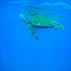 Giant Green Sea Turtle Takes a Breath