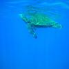 Giant Green Sea Turtle Takes a Breath