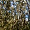 Australian Pine Trees