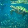 Ka'anapali Giant Sea Turtle