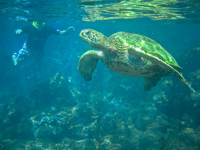 Ka'anapali Giant Sea Turtle