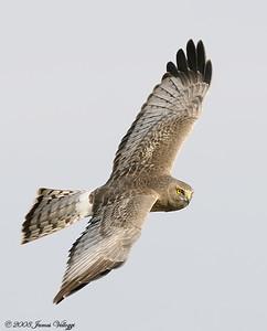 Northern Harrier, Circus cyaneus