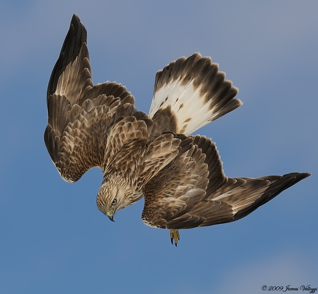 Rough-legged Hawk, Buteo lagopus