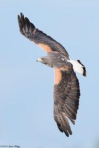 White-tailed Hawk, Geranoaetus albicaudatus