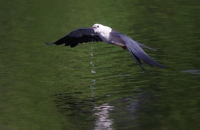 swallow-tailed kite  Deland, FL