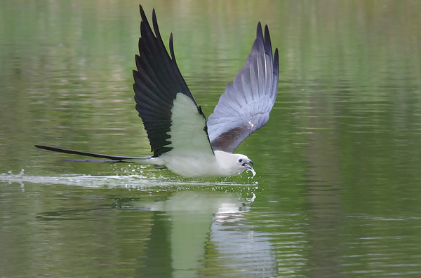 Swallow-tailed kite going for a drink Hendry County, FL