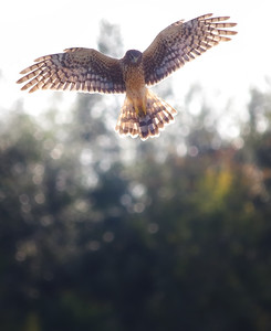 female northern harrier-next potential lunch