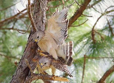 Red-Shouldered Hawks Loxahatchee NWR, FL