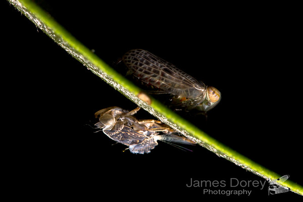 Leafhopper sp.