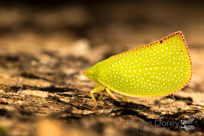 Green Mottled Planthopper (Siphanta hebes)