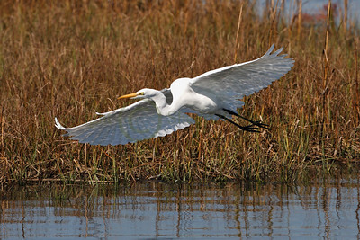 079176 Great Egret