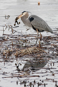 046647 Great Blue Heron