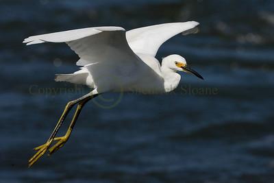 065696 Snowy Egret