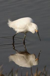 052252 Snowy Egret