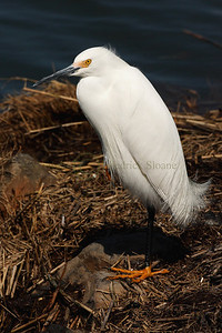 076549 Snowy Egret