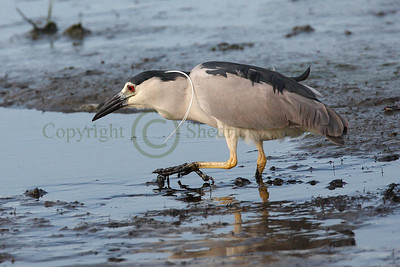 067414 Black Crowned Night Heron