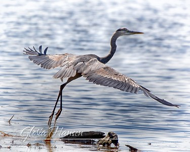 Heron-about-to-fly_GLO6210-11x14