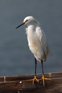 087517 Snowy Egret