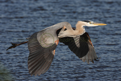 101598 Great Blue Heron