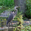 Herons Photographs