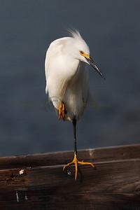 087535 Snowy Egret