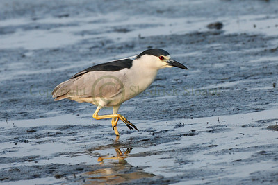 087360 Black Crowned Night Heron