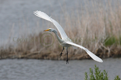 068956 Great Egret