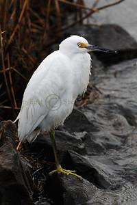 066369 Snowy Egret
