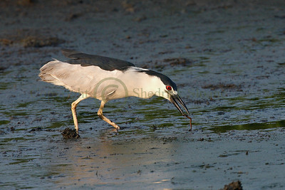 068372 Black Crowned Night Heron