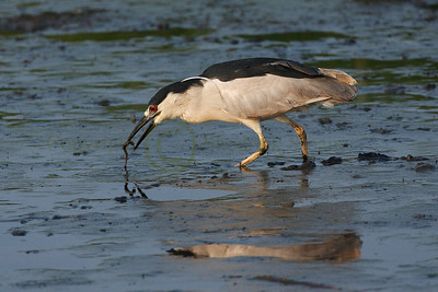 068412 Black Crowned Night Heron