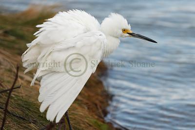 066428 Snowy Egret