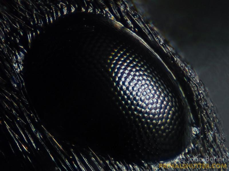 Pachycondyla (Ponerinae)