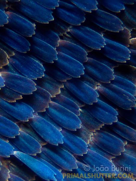 Caligo (Brassolidae)