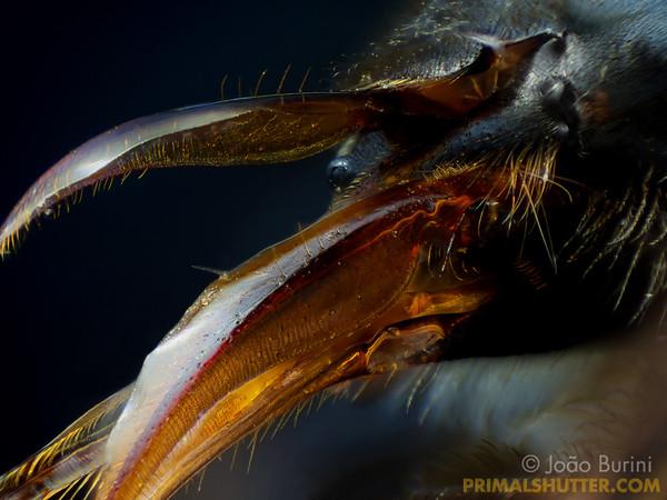 Apis mellifera (Apidae)