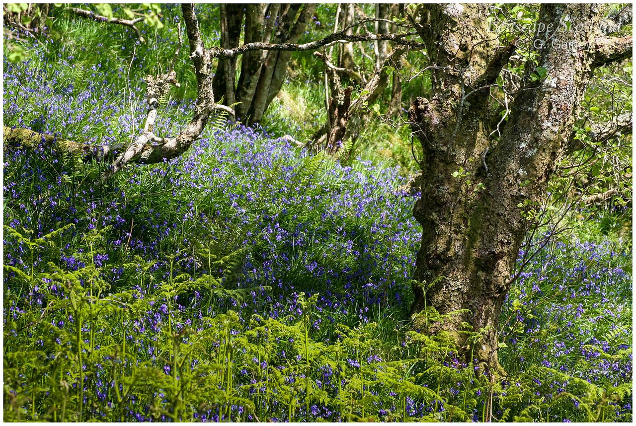 Bluebells lining the Gleann Beag road